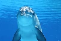 Golfinho embaixo do mar olhando para a câmera