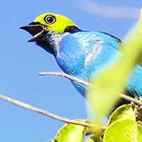 Foto do pássaro sete-cores-da-amazônia