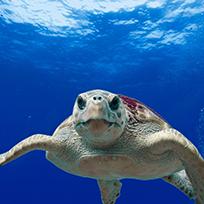 Tartaruga embaixo do mar encarando a câmera