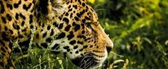 Onça Pintada de perfil na floresta / Foto: PixaBay