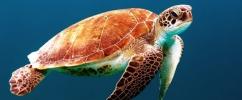 Linda tartaruga nadando embaixo do mar